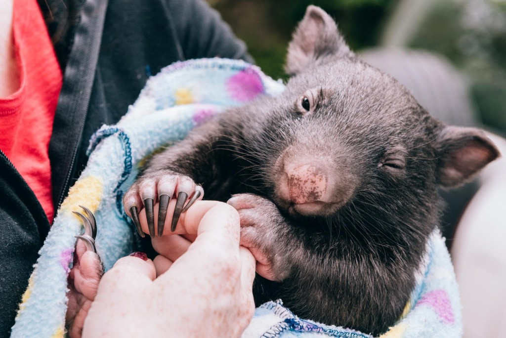 2015 03 07 Baby Wombat Visit - Pacific Ginger-10