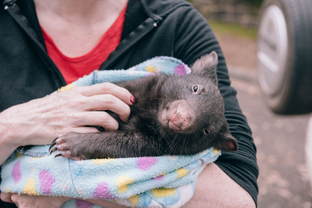 2015 03 07 Baby Wombat Visit - Pacific Ginger-13