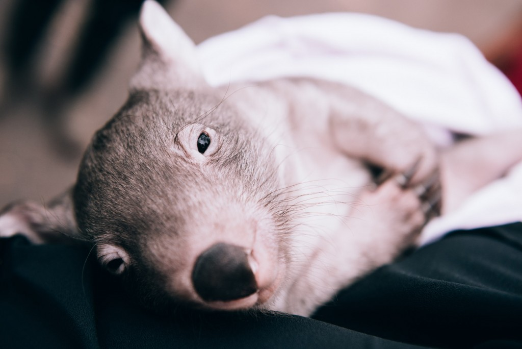 2015 03 07 Baby Wombat Visit - Pacific Ginger-2