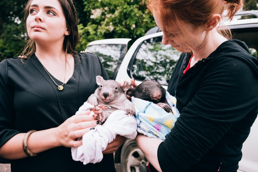 2015 03 07 Baby Wombat Visit - Pacific Ginger-3