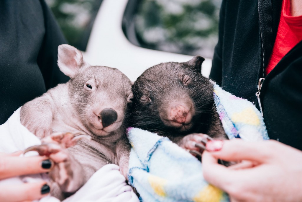 2015 03 07 Baby Wombat Visit - Pacific Ginger-4