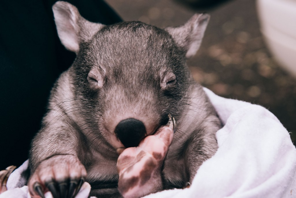 2015 03 07 Baby Wombat Visit - Pacific Ginger-5