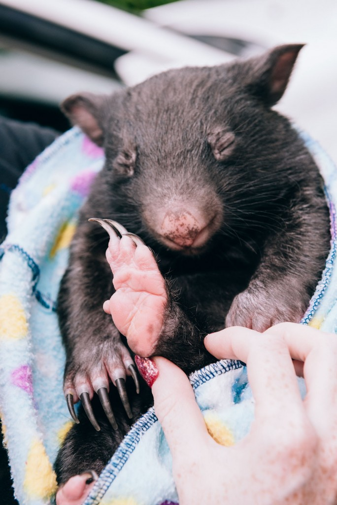 2015 03 07 Baby Wombat Visit - Pacific Ginger-8